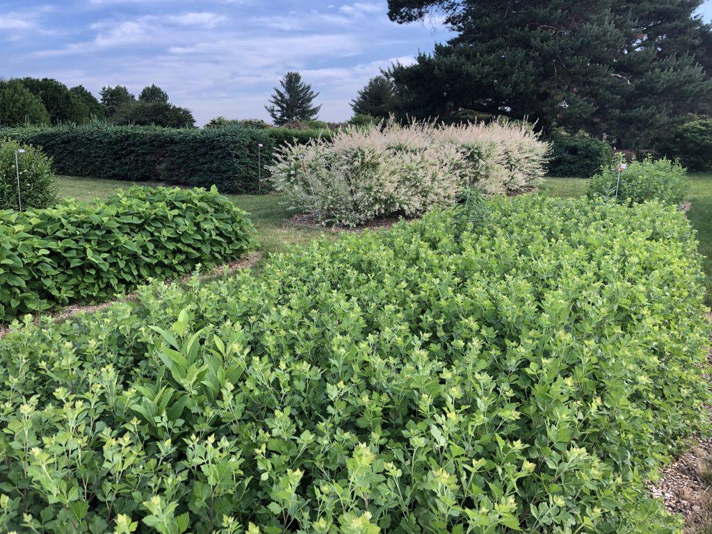 Fragrant sumac, Rhus aromatica, foreground, and dappled willow, Salix integra 'Hakuro-nishiki' showy white foliage, background.