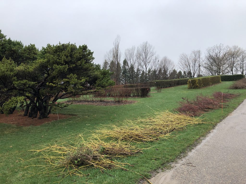 Hedges that have been pruned or thinned at the base.