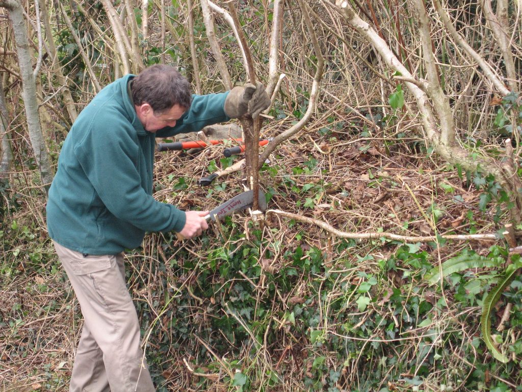 Gardeners at the Royal Horticultural Society's Rosemore Garden in Devon, teach the art of hedge laying.