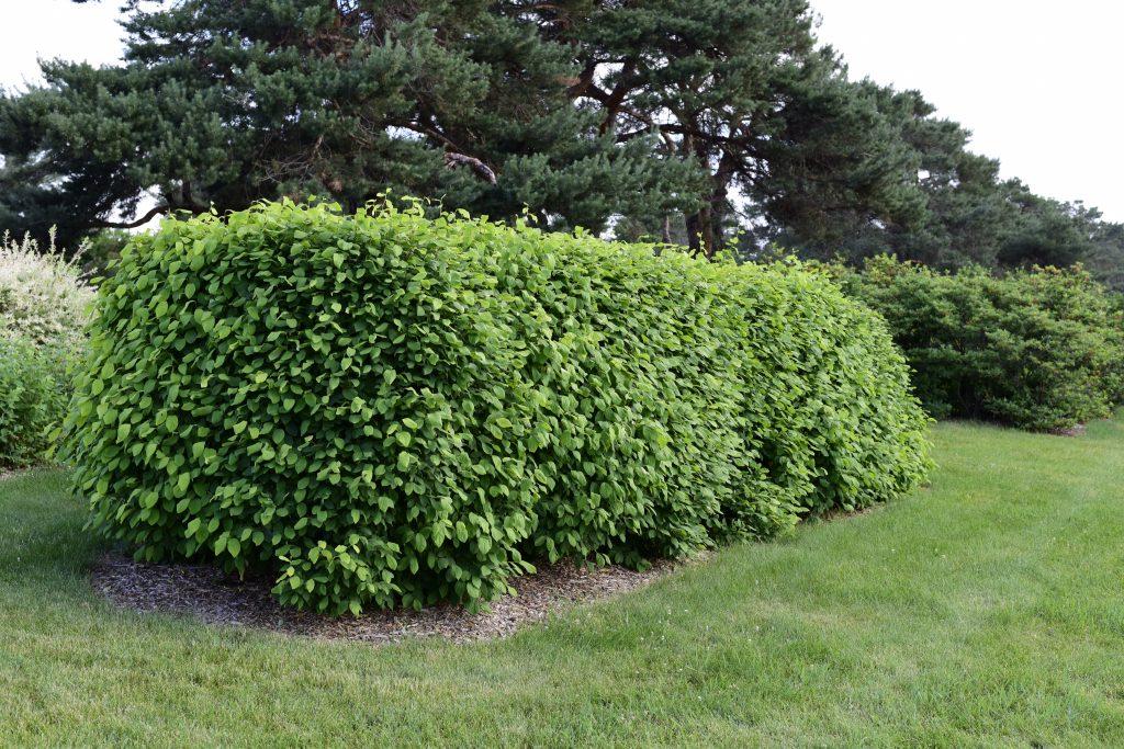 Dirca palustris - Leatherwood