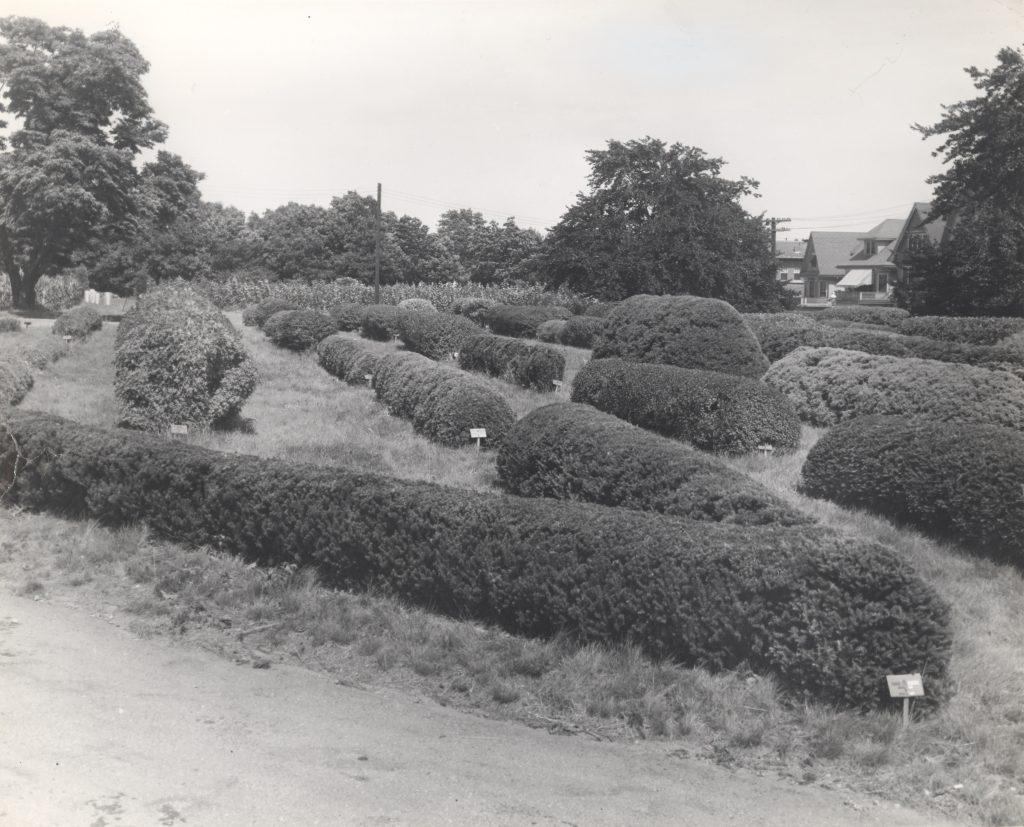 A black and white ground view of Arnold Arboretum's hedge collection.