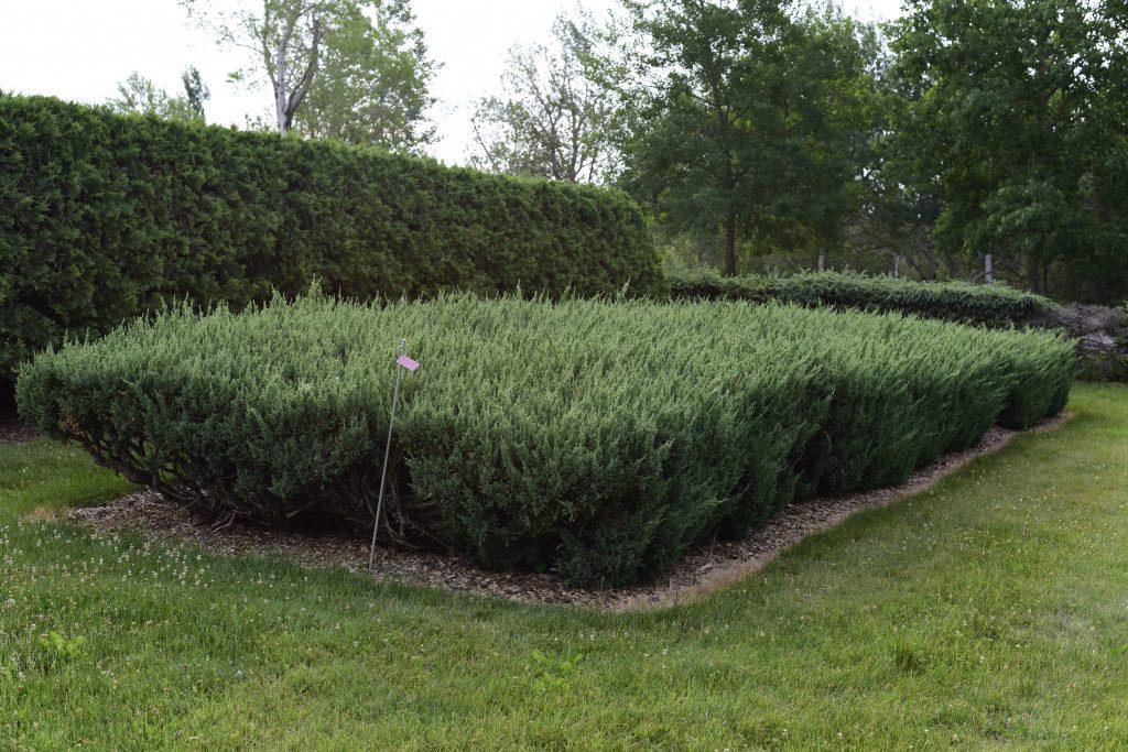 Juniperus chinensis 'Maney' - Chinese Juniper