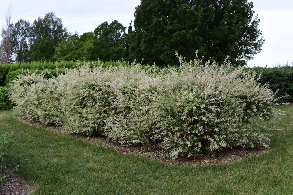 Salix integra 'Hakuro-Nishiki' - Dappled Willow