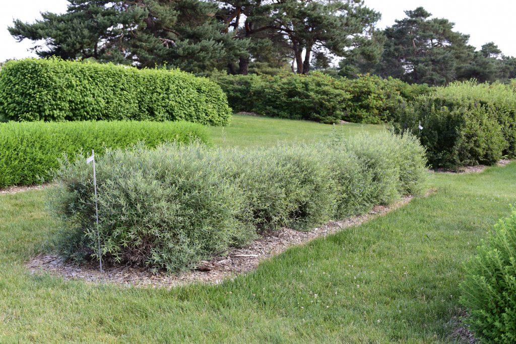 Salix purpurea 'Nana' - Dwarf Purple Willow