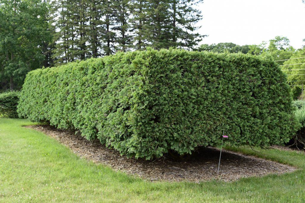 Thuja occidentalis 'Wareana' - American Arborvitae