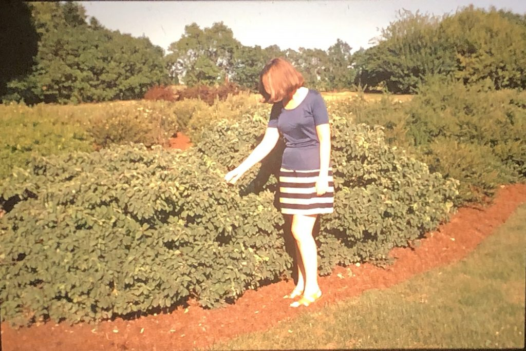 Wendy Colburn, membership secretary at the MLA, examines Lonicera xylosteum 'Emerald Mound' on July 20, 1972. This hedge is in the collection today. Image courtesy of the Leon Snyder slide collection, Andersen Horticultural Library.