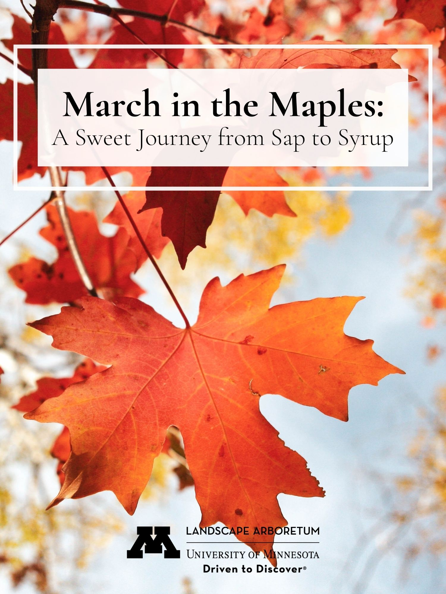 Cover image for Arboretum Maple Time